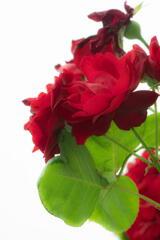 須磨離宮公園 赤い薔薇