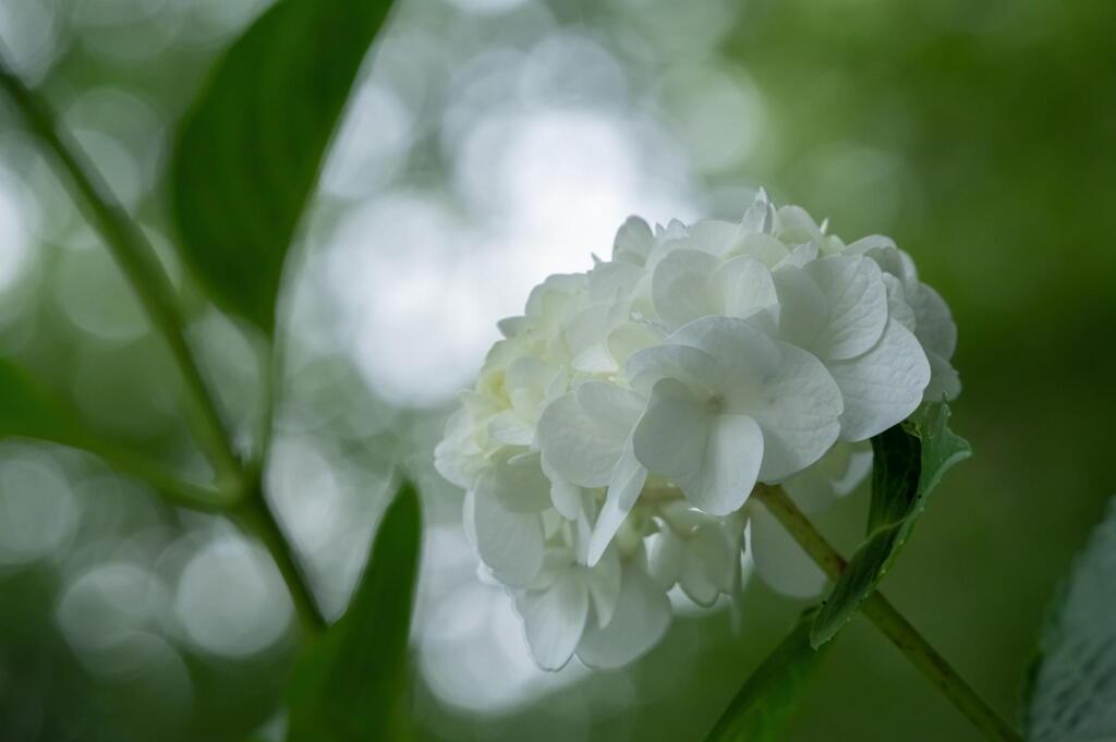 神戸市立森林植物園 紫陽花盛ん その2