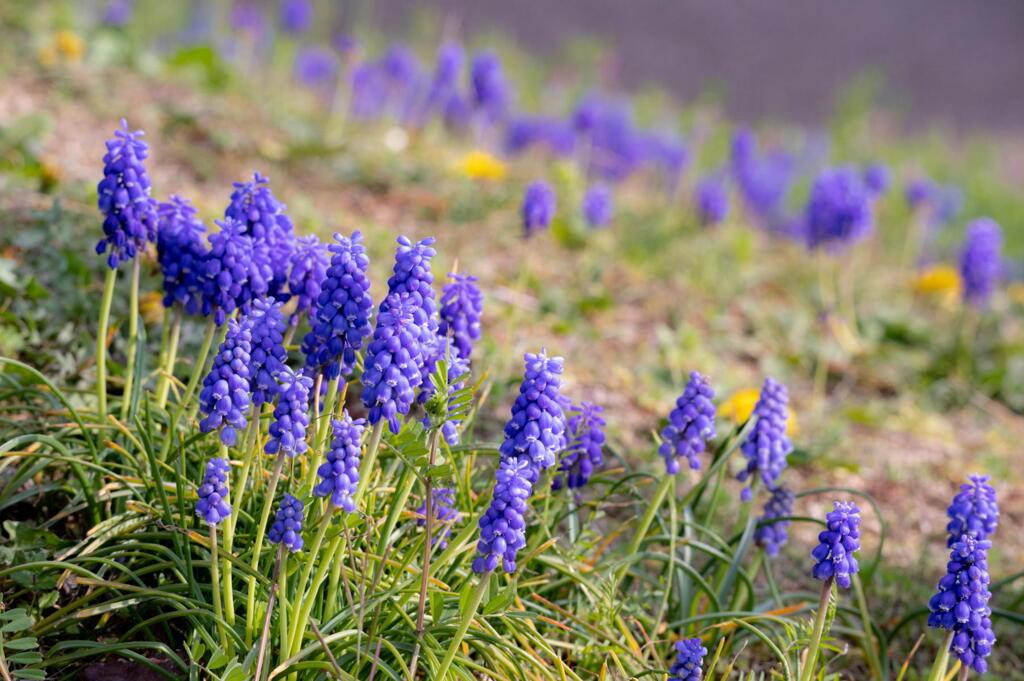ムスカリ 春に咲く