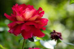 兵庫県立フラワーセンター 薔薇 その1