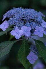 神戸市立森林植物園 紫陽花 その1