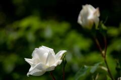 兵庫県立フラワーセンター 白薔薇