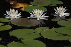 三木山森林公園 蓮池 その1