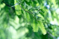 神戸市立森林植物園 ネムノキ