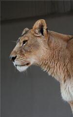 神戸 王子動物園 雌ライオン