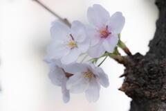 桜と語る ー 胴吹き桜 ー