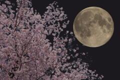 満月と桜の宵