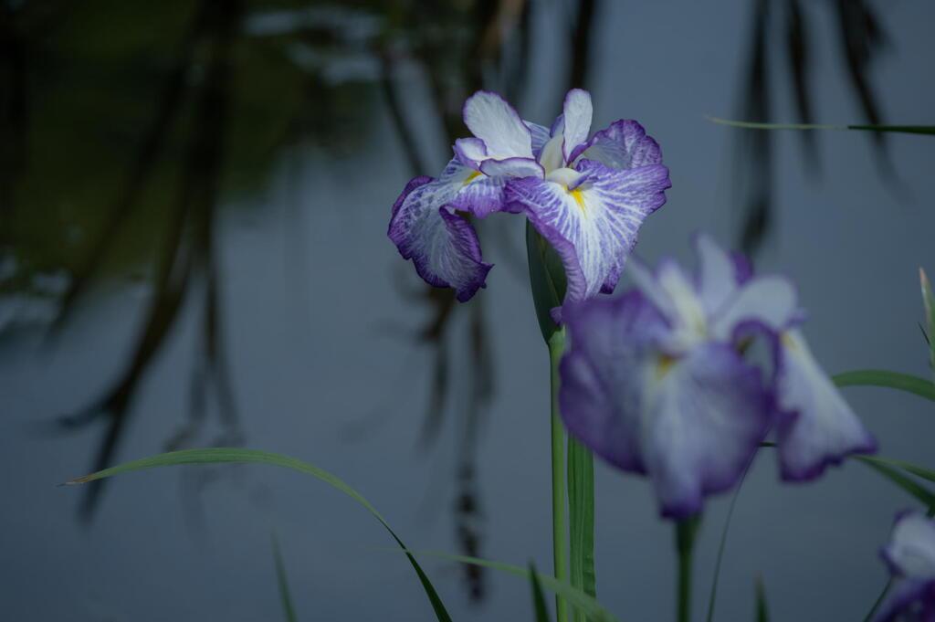 須磨離宮公園 水辺の花菖蒲 その1
