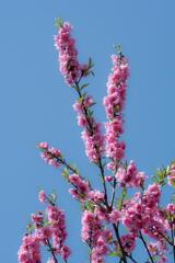 伽耶院 桃の花