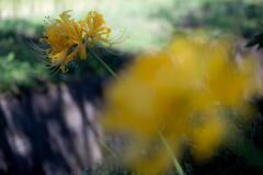兵庫県 多可町 黄色い彼岸花
