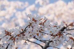 桜咲く、春も盛り