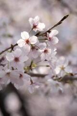 桜咲く 第二章
