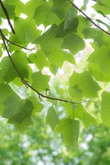 神戸市立森林植物園 ユリノキ