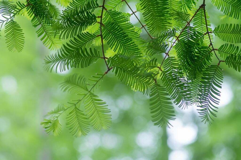 神戸市立森林植物園 5/12開園 メタセコイアの悦び その3