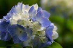 神戸市立森林植物園 紫陽花 その3