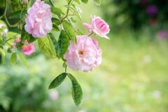 兵庫県立フラワーセンター 薔薇 その2