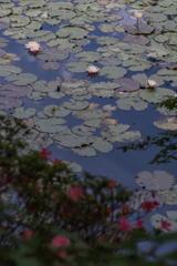 森林植物園の蓮