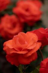 須磨離宮公園 オレンジの薔薇