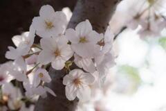 桜と語る ー 雨待つ午後 ー