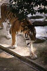 神戸 王子動物園 トラ