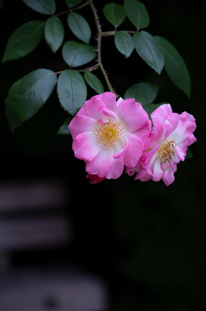 離宮公園の秋薔薇 その1