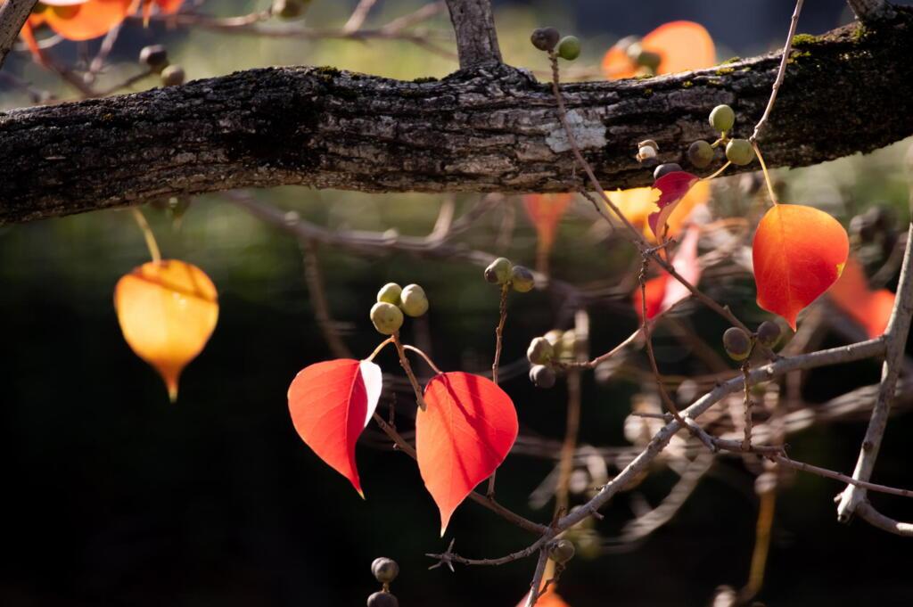 団地のナンキンハゼ 落葉盛ん