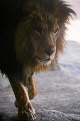 神戸 王子動物園 雄ライオン