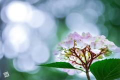 紫陽花と天然暈け