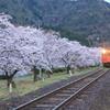 桜並木を行く1