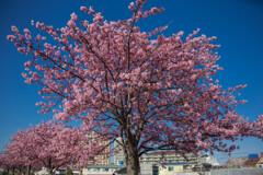 20210227-桜の木の下で