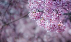 20210227-河津桜