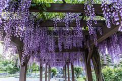 松本城の藤棚
