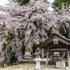 御射山神社のしだれ桜