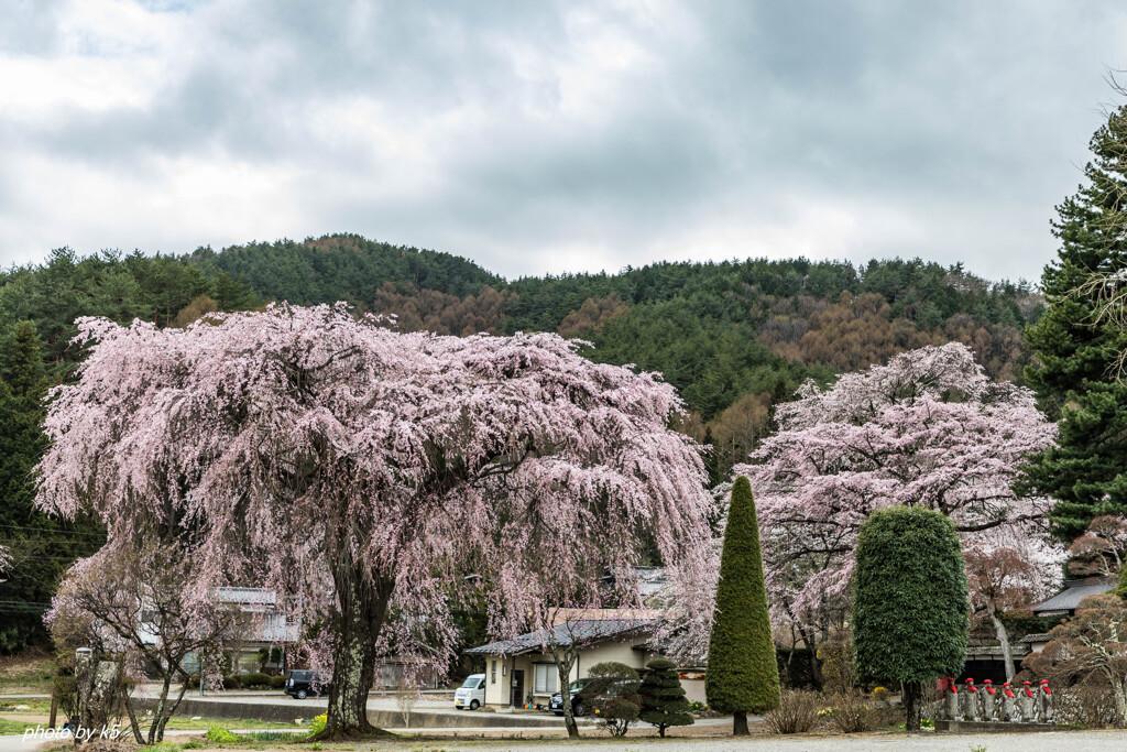 光輪寺の桜