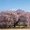 杵原学校の枝垂れ桜