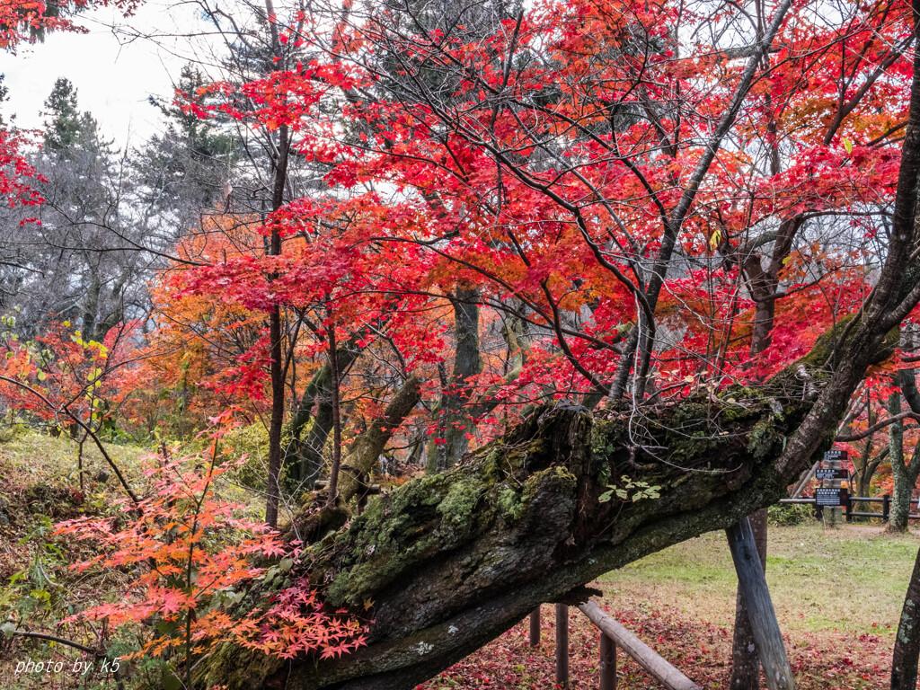 高遠城址公園の紅葉1