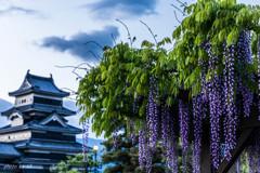 松本城と藤
