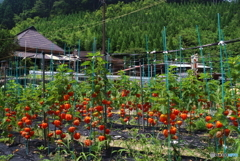 里山の夏風景。(1)