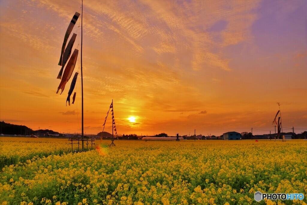 夕日の菜の花畑