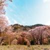 屏風岩の桜