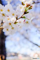 桜の色はサクラ色?