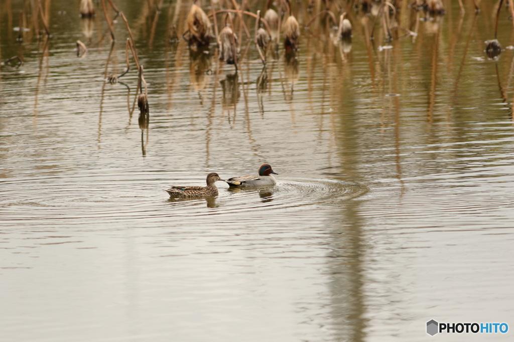 春の想い出 小鴨