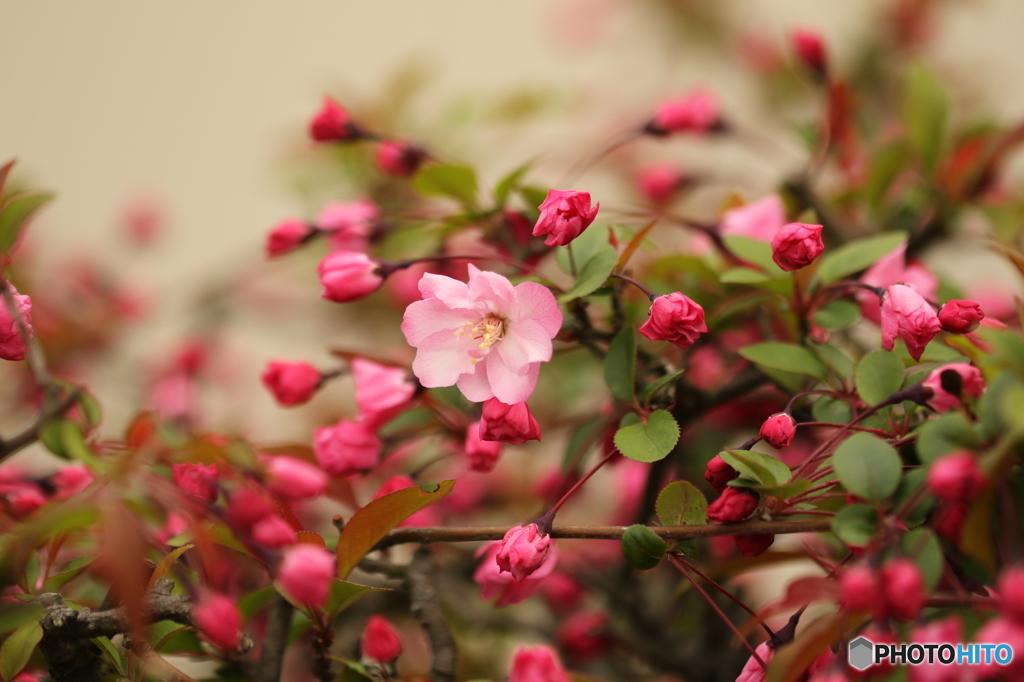 春の想い出 海棠今一度