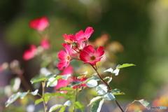 一重のバラ 2