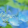 紫陽花 blue
