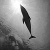 dolphin frash