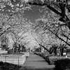 桜並木に幸せ感じて
