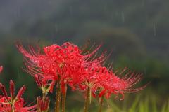 雨中のヒガンバナ