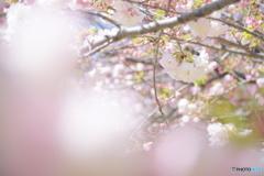 八重桜  松月