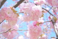 八重桜  糸括(いとくくり)